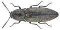 Actenicerus sjaelandicus (Mueller, 1764) (23591525509).png
