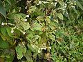 Adelocaryum coelestinum (Lindl.) Brand (5085634825).jpg
