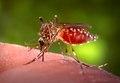 Aedes aegypti CDC07.tif