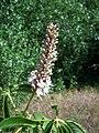 Aesculus californica-16.jpg