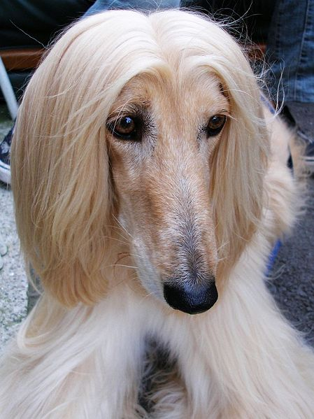 File:Afghan Hound cream portrait.jpg
