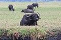 African buffalo in Chobe National Park 01.jpg
