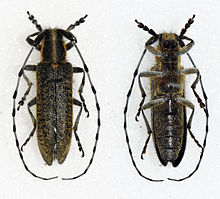 Agapanthia villosoviridescens - Male - Scales Park - Hertfordshire - UK - 14mm.JPG