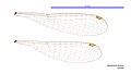 Agriocnemis femina female wings (34787774626).jpg