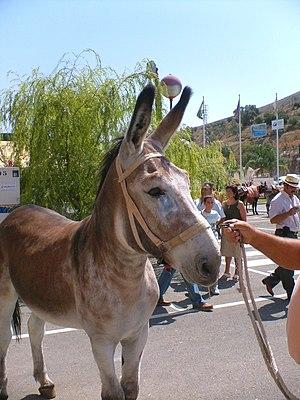 Andalusian donkey - Image: Alboxmonachilmotril 039