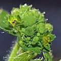 Alchemilla monticola inflorescence (02).jpg