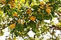 Aldrago flowering tree - (Pterocarpus violaceus) (16106457811).jpg