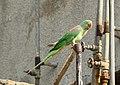 Alexandrine Parakeet (Psittacula eupatria) (33739841898).jpg