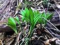 Allium ochotense, Hokkaido Japan K3100010.jpg