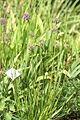 Allium splendens 06.JPG