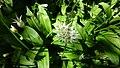 Allium ursinum, Spier's Old School Grounds, Beith, North Ayrshire.jpg