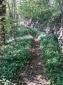 Allium ursinum - Esneux.jpg