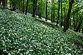 Allium ursinum in Gerecse.jpg