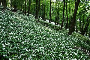Komárom-Esztergom County - Image: Allium ursinum in Gerecse