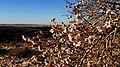Almond Blossom, Negev, Israel פריחת שקדיה, רמת בקע, צפון הנגב - panoramio (1).jpg