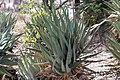 Aloe littoralis (Windhoek Aloe)-2267 - Flickr - Ragnhild & Neil Crawford.jpg