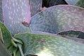 Aloe reynoldsii 0zz.jpg