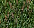 Alopecurus sp. - a Foxtail - Flickr - S. Rae.jpg