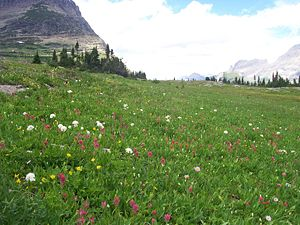 Logan Pass - Image: Alpine flora logan pass