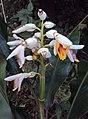 Alpinia malaccensis 01.JPG