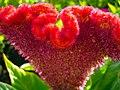 Amaranthus (17).jpg