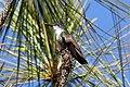 Amazilia cyanocephala.jpg
