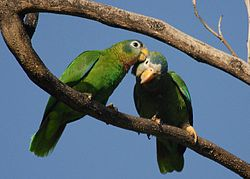 Amazona collaria -St. Andrew -Jamaica -two-8a.jpg