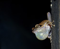 Amboli Bush Frog with enlarged vocal sac for mating calls.jpg