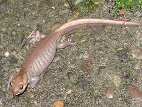 Ambystoma gracile.jpg