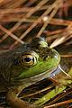 American Bullfrog (Rana catesbeiana) - Algonquin Provincial Park, Ontario 05.jpg