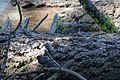 American Dipper - Flickr - GregTheBusker.jpg
