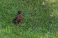 American Robin (43294893185).jpg