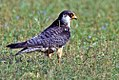 Amur falcon female 3.jpg