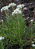Anaphalis margaritacea 1.jpg