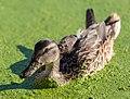 Anas platyrhynchos (female) in Lemna sp, Swan Lake, Saanich, British Columbia 02.jpg