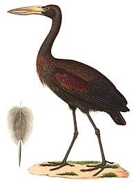 Anastomus lamelligerus 1838, b.jpg