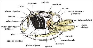 Scallop anatomy diagram