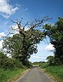 Ancient oak on the way to Thurning - geograph.org.uk - 529442.jpg