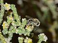 Andrena aegypticola male 1.jpg
