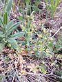Androsace elongata sl2.jpg