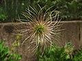 Anemone pulsatilla - Real Jardin Botanico de Madrid (11123228044).jpg