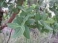 Angophora hispida Leaves IMG 4375 (5770852879).jpg