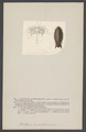 Anilocra mediterranea - - Print - Iconographia Zoologica - Special Collections University of Amsterdam - UBAINV0274 006 03 0057.tif