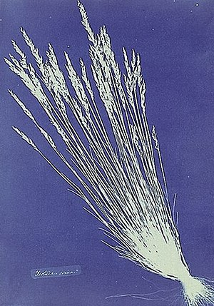 Photogram - One of Anna Atkins's cyanotype photograms of Festuca grasses