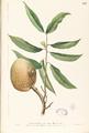 Annona reticulata Blanco1.197-original.png