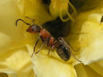 Ant in flower.jpg