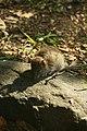 Antechinus, a dasyurid marsupial - panoramio.jpg