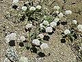 Antennaria something-or-other - or is it Eriogonum - panoramio.jpg