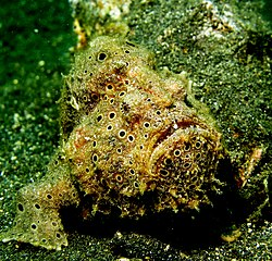 Antennarius pictus - Painted FrogFish.jpg