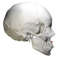 Anterior nasal spine of maxilla - skull - lateral view.png